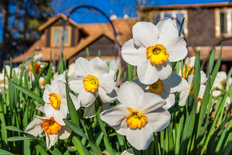 A close up horizontal image of white and yellow flowers growing in the garden with a house in soft focus on a blue sky background.