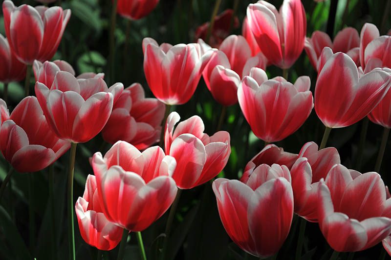 A close up horizontal image of red and white Triumph tulips growing in the garden, pictured in light filtered sunshine on a soft focus background.