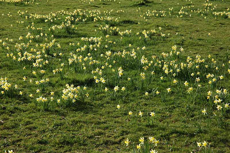 A horizontal image of naturalized narcissus flowers growing wild in a large field.