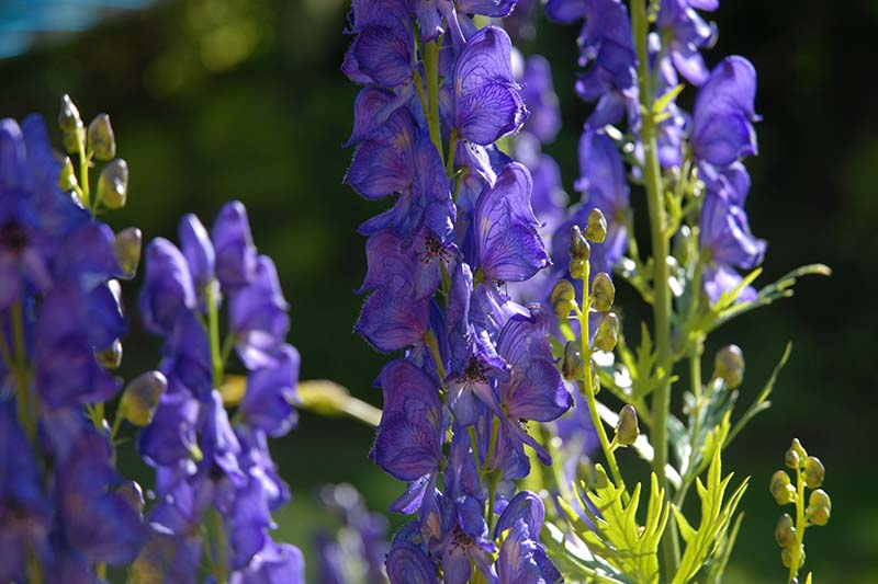 A close up horizontal image of the purple flowers of wolfsbane growing in the garden pictured in bright sunshine on a soft focus background.