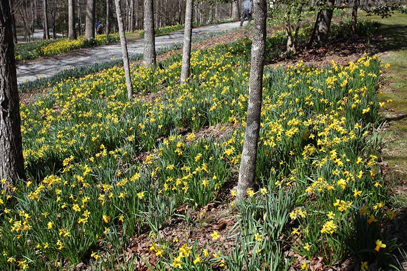 A horizontal image of a woodland setting with small trees and flowers blooming underneath them.