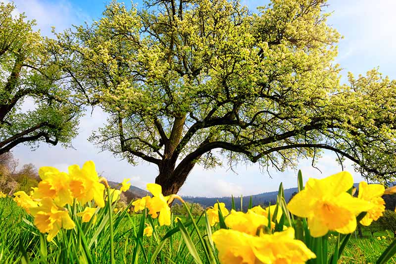 A horizontal image of a large tree with bright yellow flowers growing in the foreground against a blue sky background.
