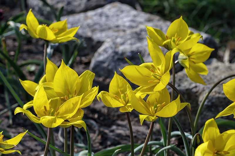 A close up horizontal image of bright yellow Tulipa sylvestris flowers growing in the garden with rocks in soft focus in the background.