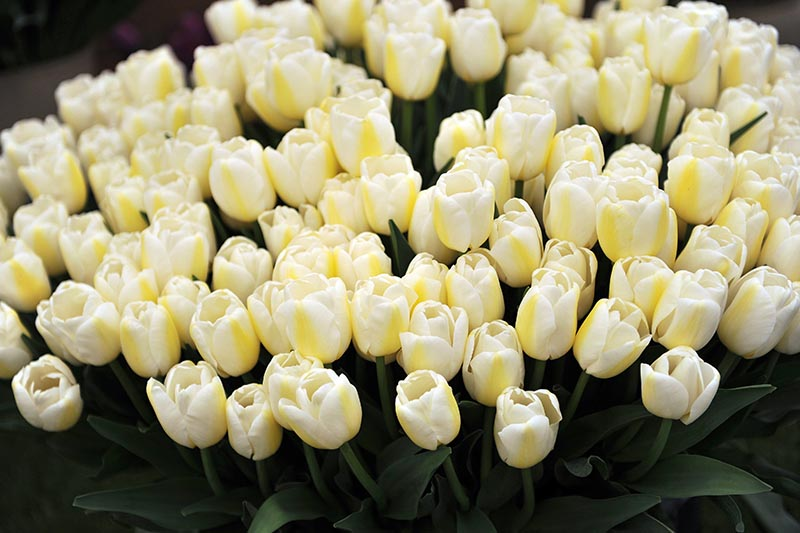 A close up horizontal image of delicate yellow and creamy-white bicolored Single Late tulips pictured on a dark soft focus background.