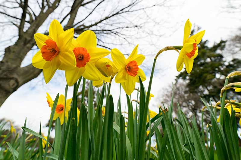 A close up horizontal image taken from ground level of yellow and orange narcissus flowers growing in the spring garden with trees and a clouded sky in soft focus in the background.