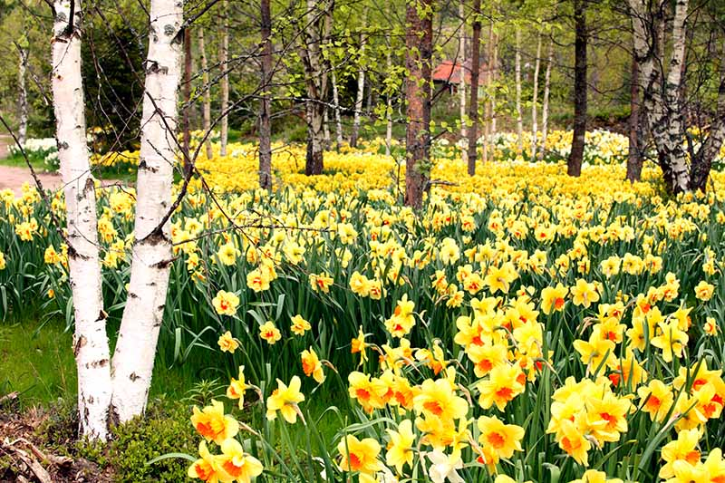 A horizontal image of a woodland setting with large swaths of yellow and orange narcissus growing underneath the trees.