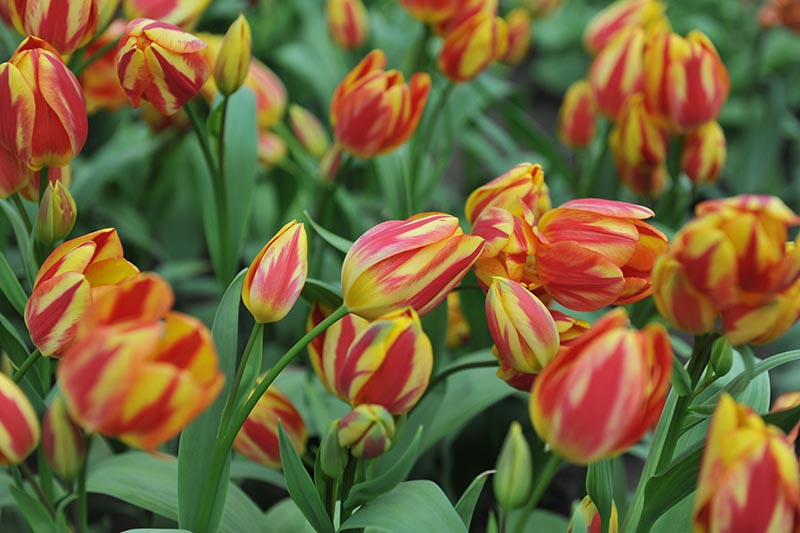A close up horizontal image of red and yellow bicolored Single Late tulips growing in the garden.