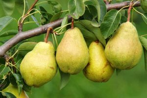 11 of the Best Fruiting Pear Varieties to Grow at Home