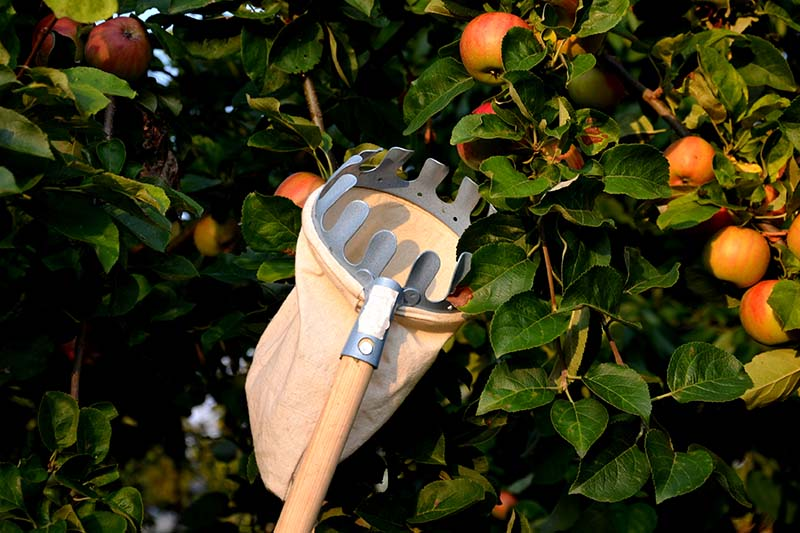 A close up horizontal image of a telescopic harvesting aid to help remove fruit from the top of a large tree. In the background is ripe fruit and foliage pictured in light sunshine in soft focus.