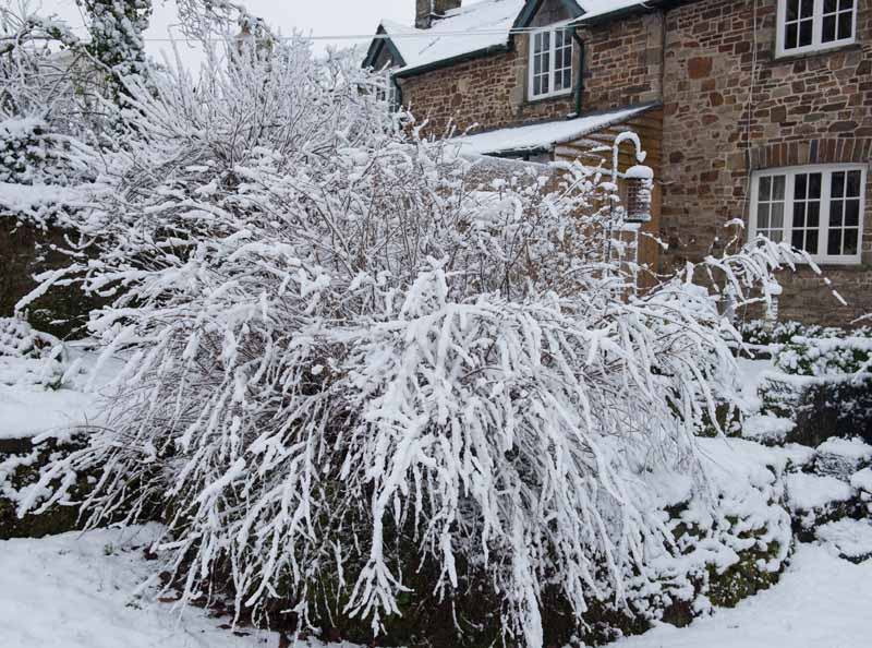 A close up horizontal image of a large perennial shrub covered in snow outside a stone house.