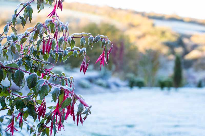 A close up horizontal image of a plant with bright red flowers and light green foliage covered in a dusting of frost. In the background is a winter landscape in soft focus pictured in light sunshine.