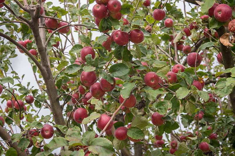 A close up horizontal image of a tree with a huge crop of red ripe fruit ready for picking, surrounded by green foliage pictured on a soft focus background.