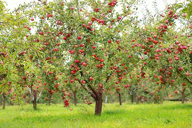 A horizontal image of an orchard of trees laden with ripe red fruit ready for harvest, with lawn surrounding.