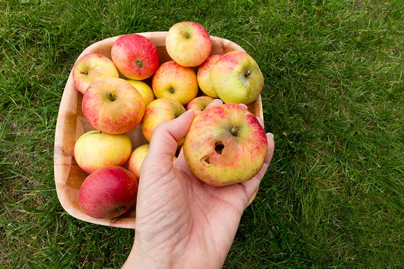 A close up horizontal image of a hand holding a freshly harvested fruit that has been damaged by insect pests, with a wooden bowl set on a lawn in the background.