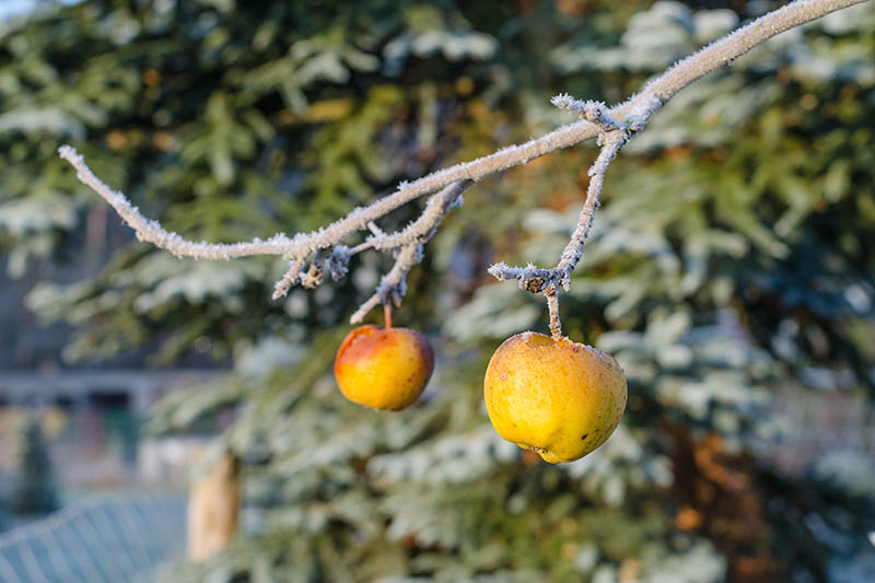 A horizontal image of the branch of a tree with two fruits going bad as a result of the heavy frost covering them, pictured in light sunshine. In the background is foliage in soft focus.