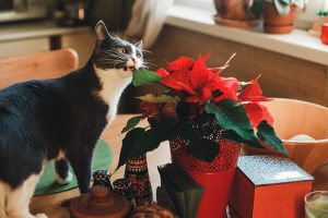 Are Poinsettia Plants Poisonous?