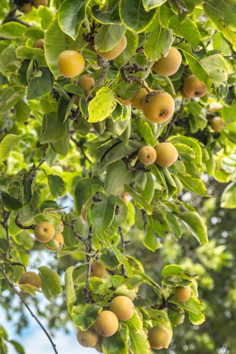A close up vertical image of a Pyrus pyrifolia tree full of ripe fruit pictured in light sunshine with blue sky in soft focus in the background.