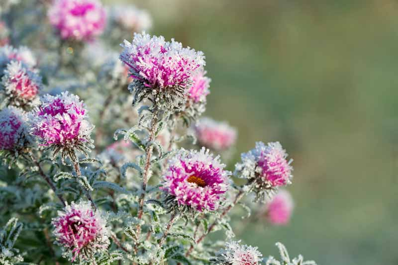 A close up horizontal image of pink chrysanthemum flowers covered with snow, pictured in light sunshine on a soft focus background.
