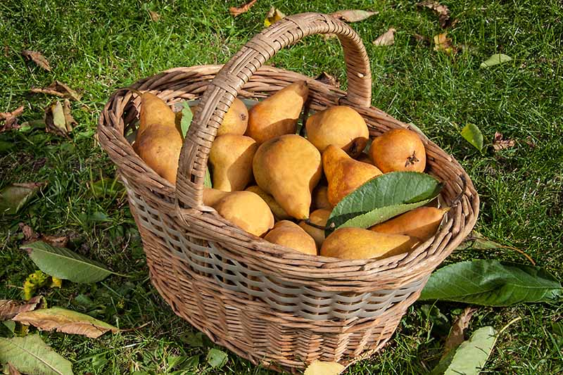 A close up horizontal image of a wicker basket filled with freshly harvested pears set on the lawn surrounded by autumn leaves, pictured in light sunshine.