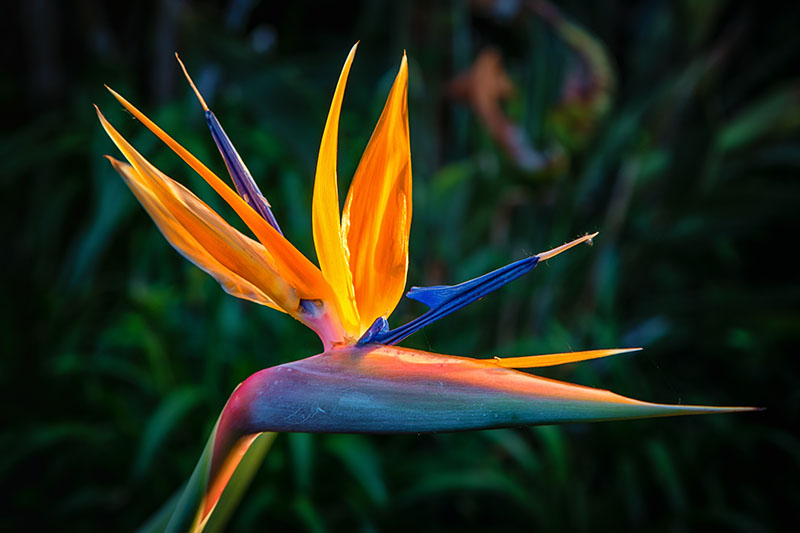 A close up horizontal image of a Strelitzia reginae bloom pictured in bright sunshine on a soft focus background.