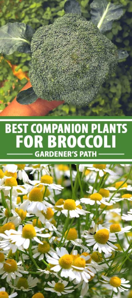 A collage of photos showing broccoli and different companion plant varieties.