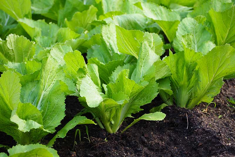 A close up horizontal image of mustard greens growing in the garden pictured in light sunshine.