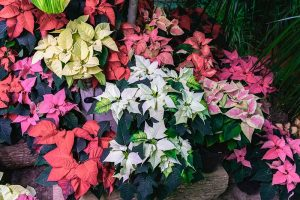 35 Favorite Poinsettia Cultivars for Your Home