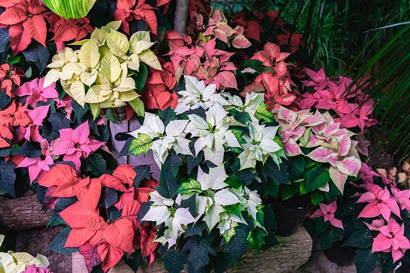 A close up horizontal image of a variety of different colored poinsettia plants growing in pots pictured on a soft focus background.