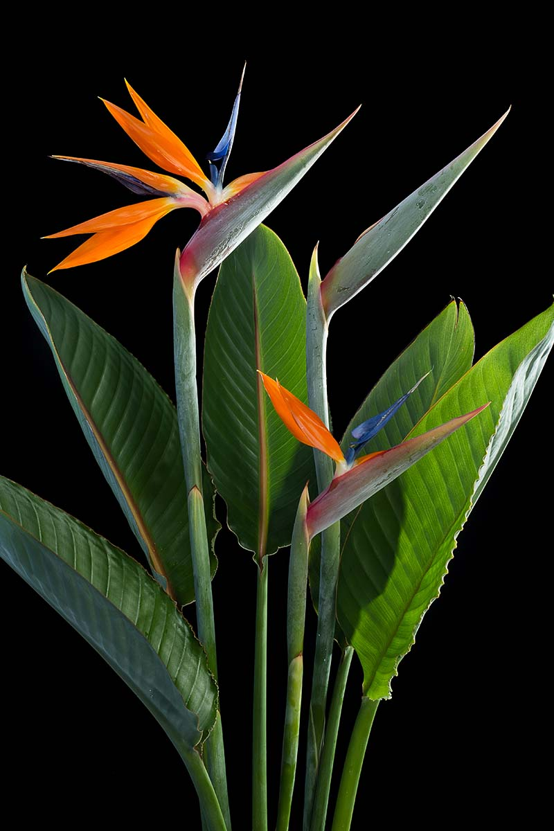 A close up vertical image of Strelitzia reginae growing indoors pictured on a black background.