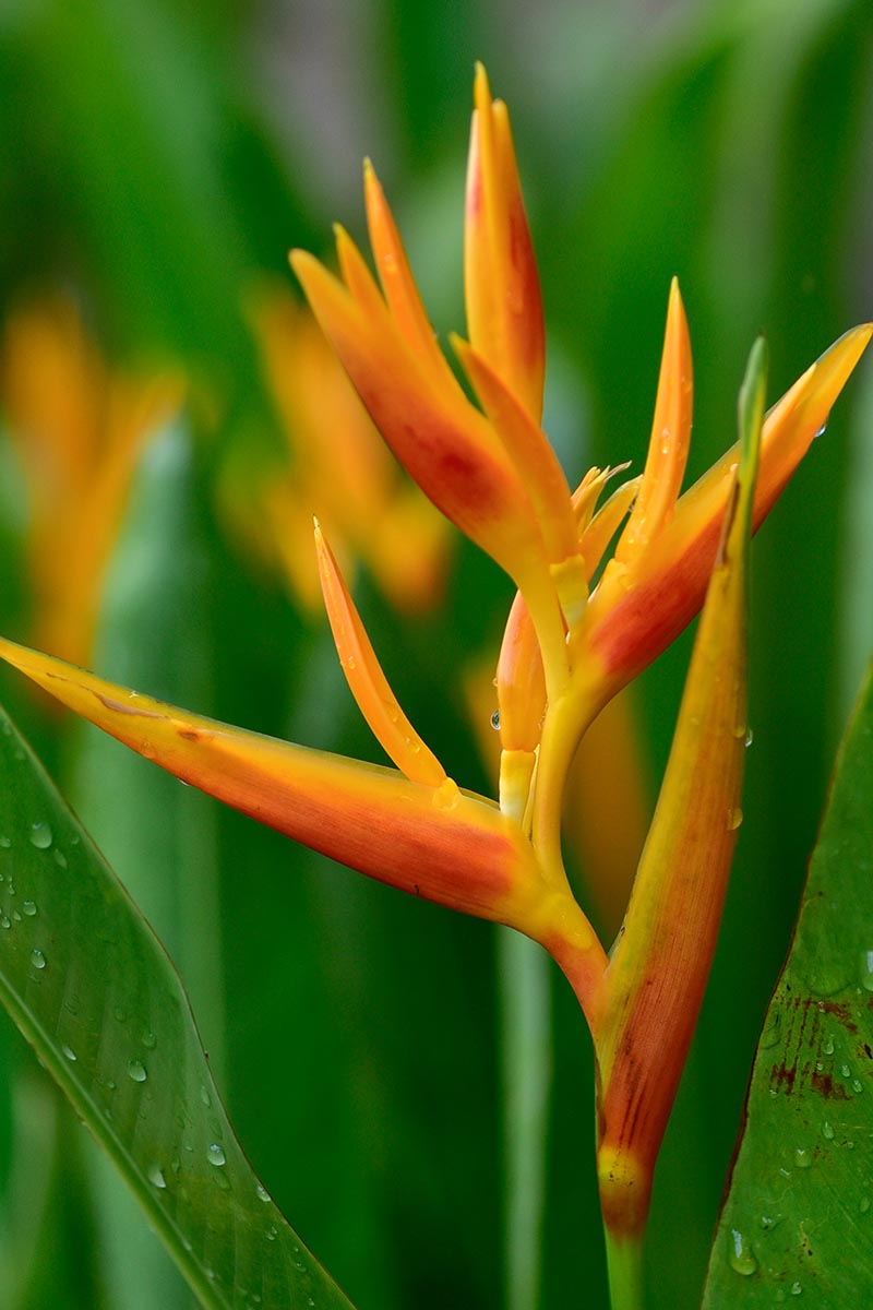 A vertical close up image of an orange bird of paradise flower just beginning to bloom with foliage in soft focus in the background.