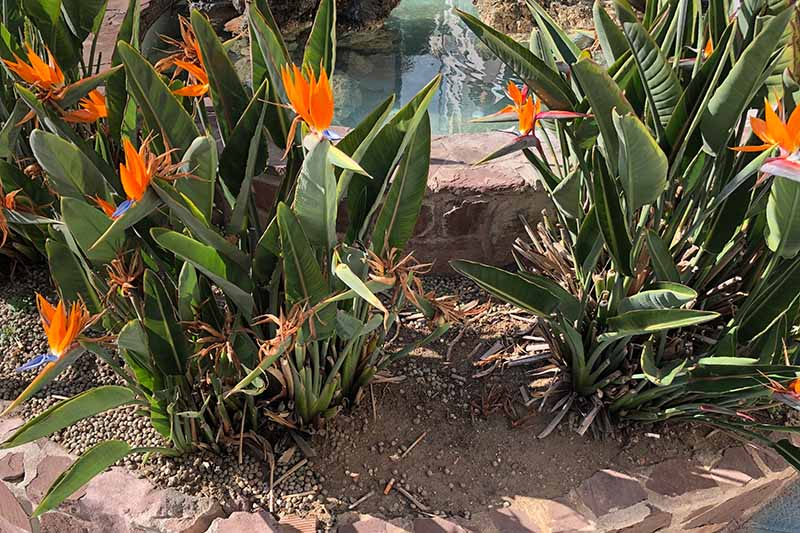 A close up horizontal image of bird of paradise plants growing in a sunny border in the garden, with a pond in the background, pictured in bright sunshine.