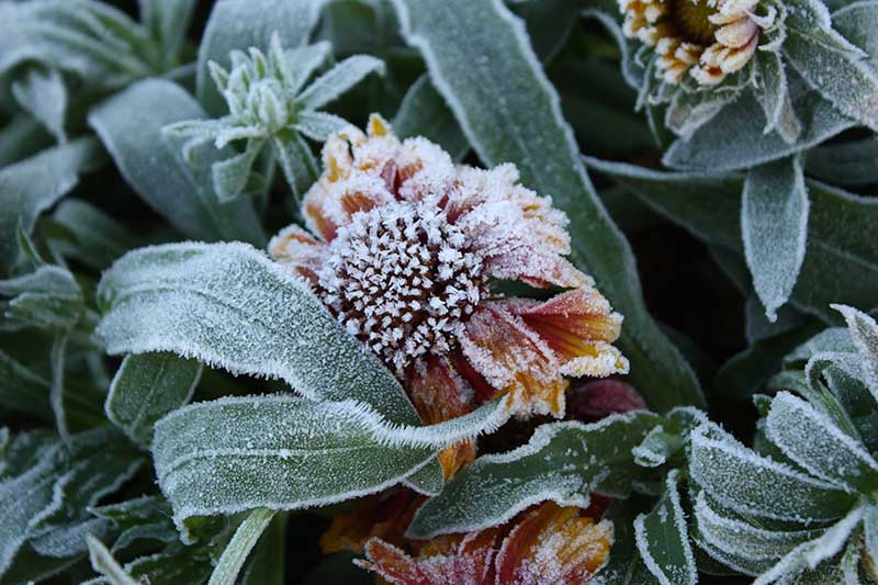A close up horizontal image of a gaillardia plant covered in hoarfrost with a small fading flower and foliage.