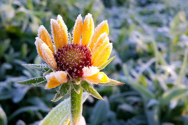A close up horizontal image of a small yellow flower covered in a light dusting of frost pictured in bright sunshine on a soft focus background.