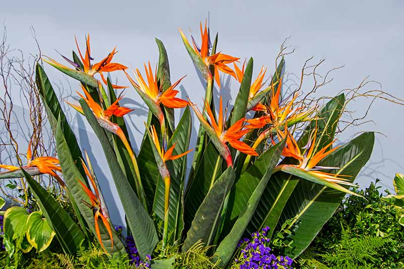 A close up horizontal image of Strelitzia reginae growing in a border in the garden with a light gray wall in the background.