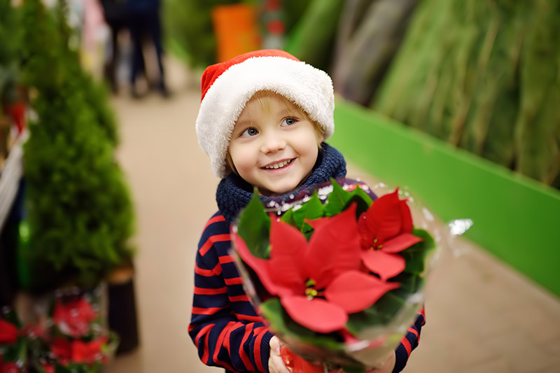 A close up horizontal image of a little boy wearing a red and white festive hat carrying a Euphorbia pulcherrima plant with bright red bracts, pictured on a soft focus background.