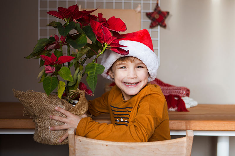 A close up horizontal image of a boy wearing a festive outfit, sitting at a table holding a potted Euphorbia pulcherrima plant.