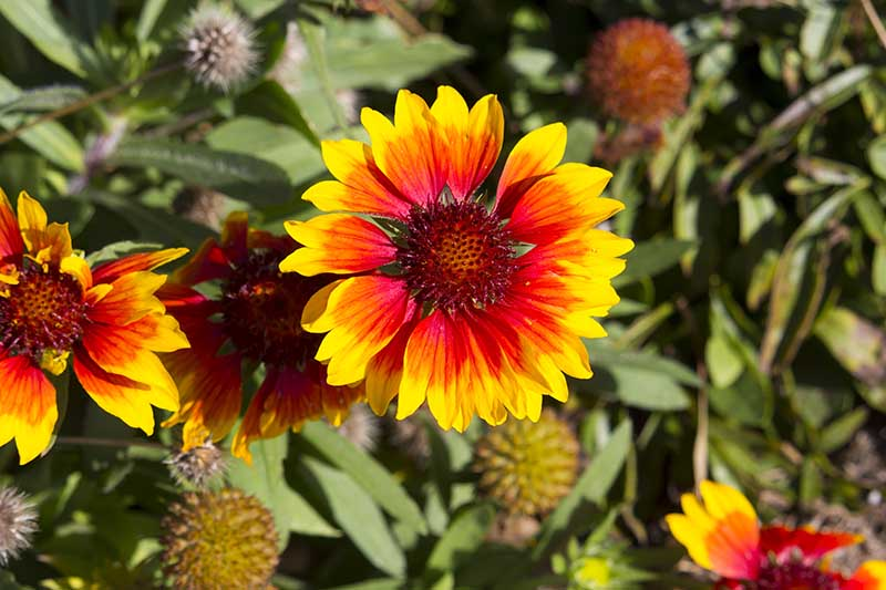 A close up horizontal image of a bright yellow and red blanket flower growing in the summer garden, pictured in bright sunshine with foliage in soft focus in the background.