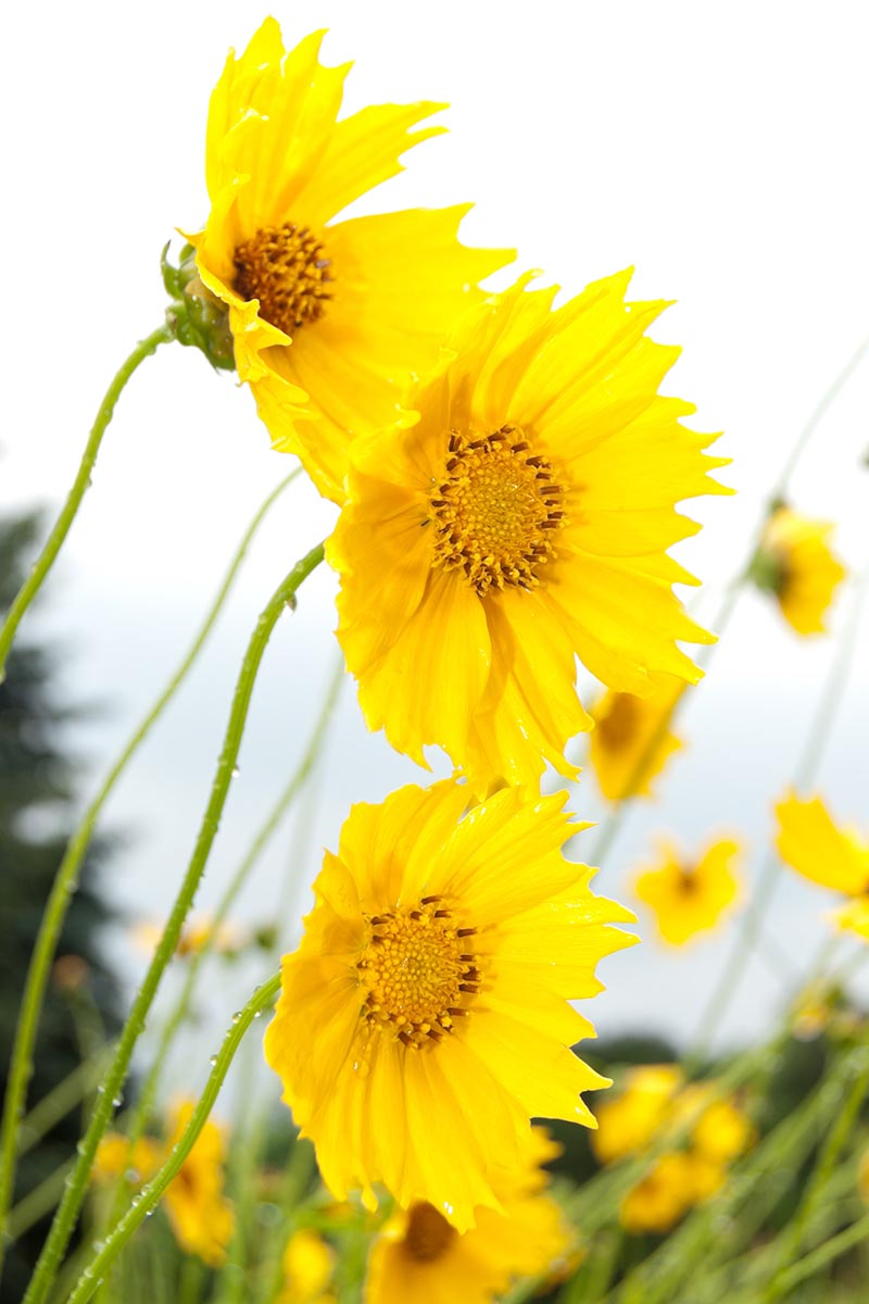 A close up vertical image of yellow tickseed flowers growing in the garden pictured on a soft focus background.