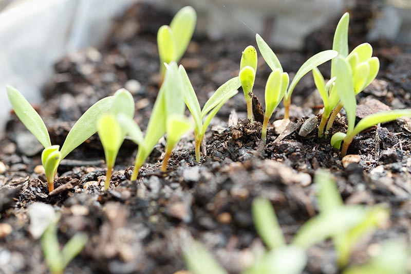 A close up horizontal image of tiny seedlings just pushing through moist rich soil.
