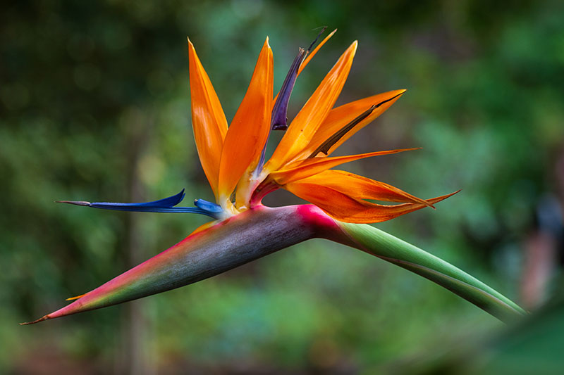 A close up horizontal image of a Strelitzia reginae bloom pictured on a soft focus background.