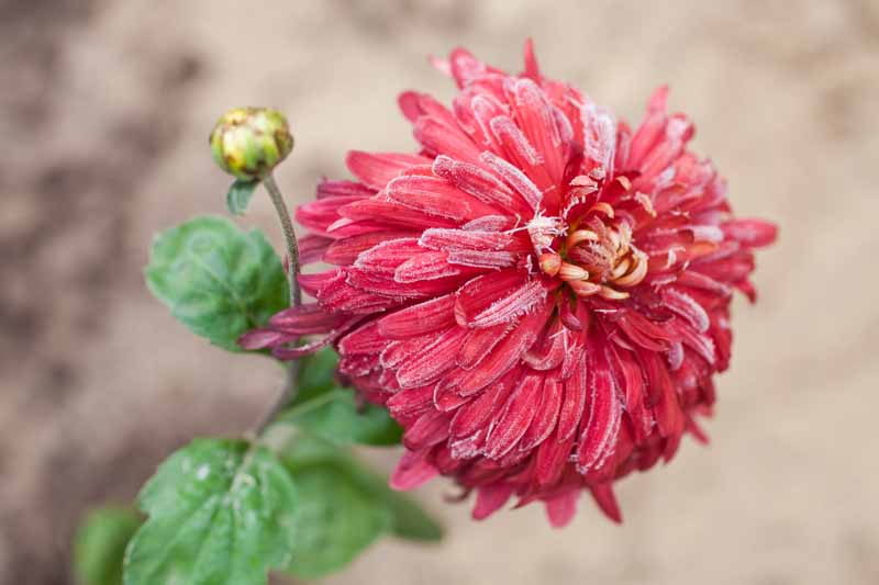 A close up horizontal image of a red chrysanthemum flower covered with frost in the autumn garden pictured on a soft focus background.