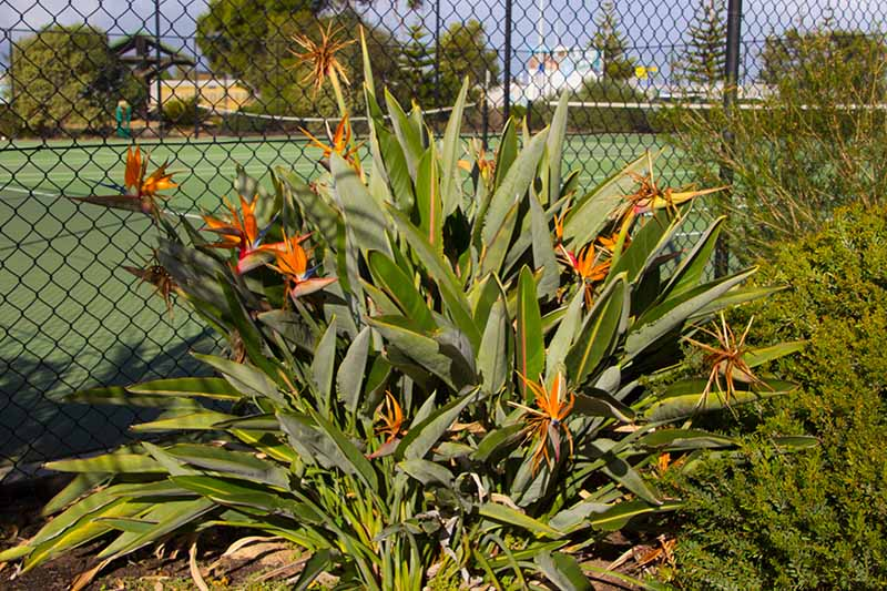 A close up horizontal image of a clump of Strelitzia reginae growing outside a tennis court with a chain link fence in the background.