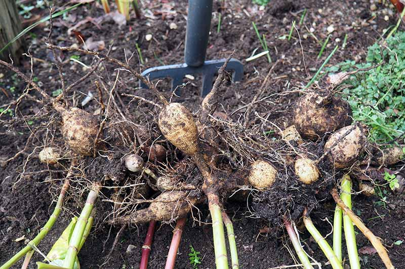 A close up horizontal image of a clump of dahlia tubers freshly dug out of the ground for winter storage.
