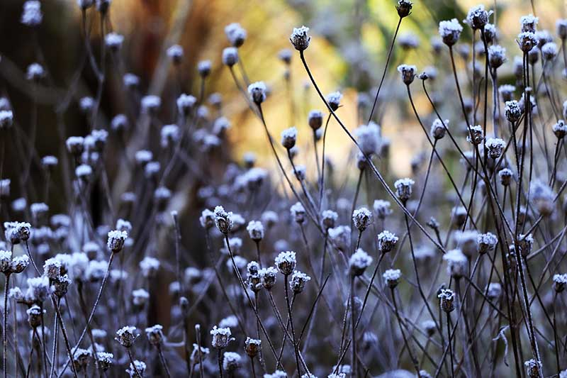 A close up horizontal image of tickseed plants covered in frost in the fall garden pictured on a soft focus background.