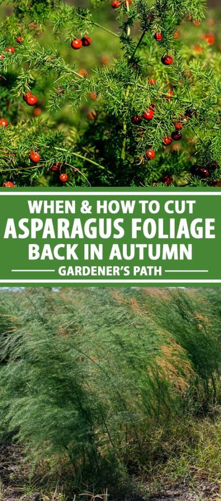 A collage of images showing different views of autumn asparagus foliage.