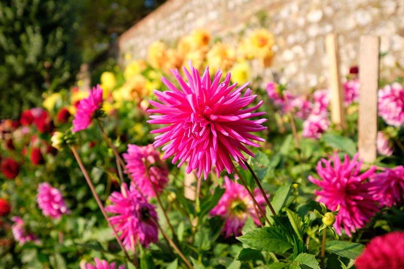 A close up horizontal image of vibrant dahlias flowering in the late summer with a stone wall in soft focus in the background, pictured in bright sunshine.