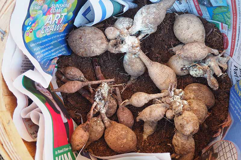 A close up horizontal image of dried dahlia tubers placed in a wooden box surrounded by soil and newspaper ready for winter storage.