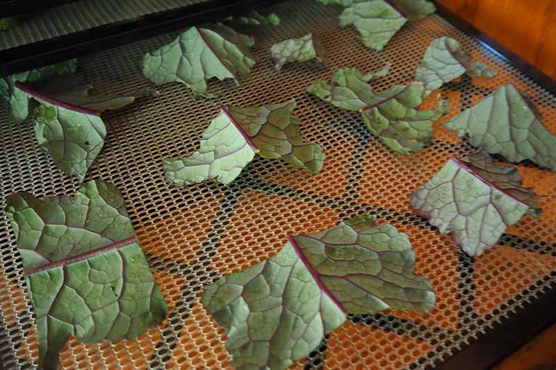 A close up horizontal image of slices of dinosaur kale set on a dehydrator tray to make chips.
