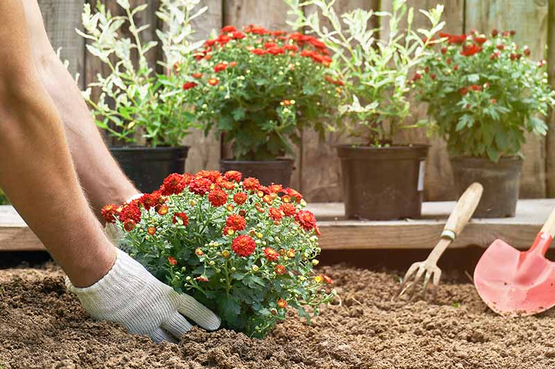A close up horizontal image of gloved hands from the left of the frame planting a chrysanthemum plant in the garden.