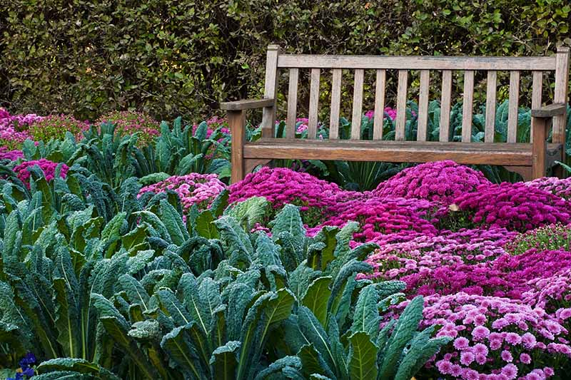 A horizontal image of a garden scene with bright pink chrysanthemums planted among dinosaur kale plants with a wooden fence and hedge in the background.